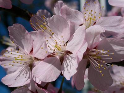 Peach blossoms-PollyCastor.com