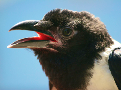 African Crows as pets