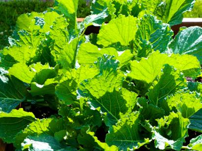 Cabbage Photos