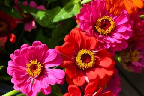 Zinnia Photos, pictures of zinnias