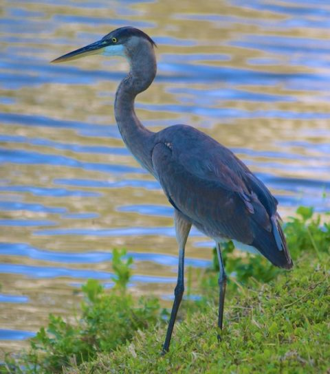 Heron Photos, Wendell Barry Poem