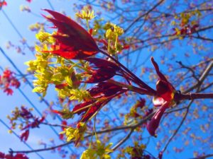 Leaves Bursting and Unfurling