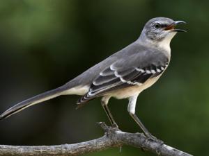 A Mockingbird Sings (a poem by Sydney Eddison)
