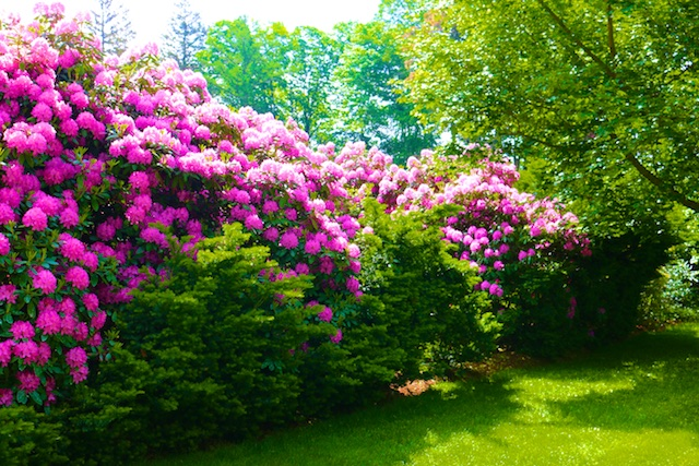 Rhododendron Photos