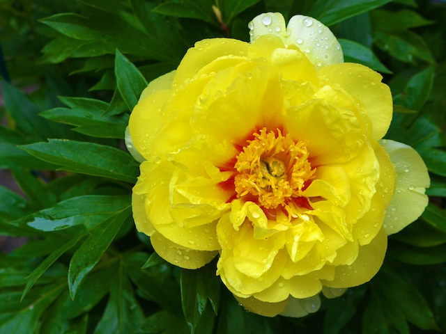 Peony Photos (with a poem by Mary Oliver)