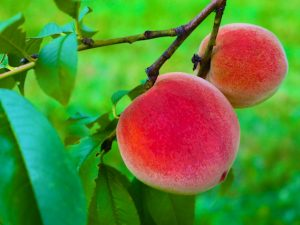 Photos of our Peach Crop