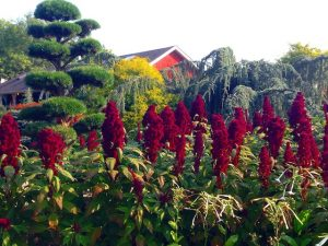 Amaranth Photos at Hollandia