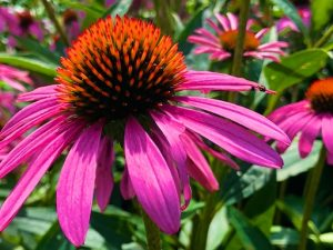 Is That a Dream or a Goal? (quote with Coneflower Photos)