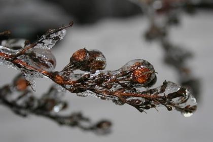 Icy tree buds-www.PollyCastor.com