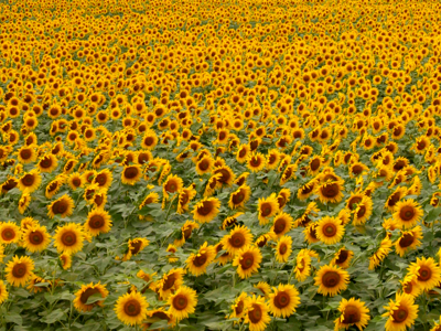 Sunflower field-www.PollyCastor.com