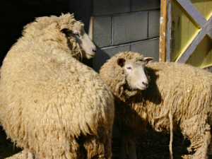 Today's Poem: Sheep-feeding