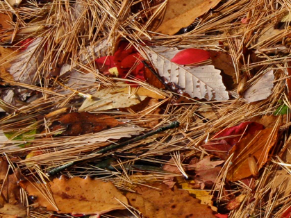Polly Castor Photography: Pine needles