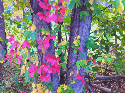 Early fall vines