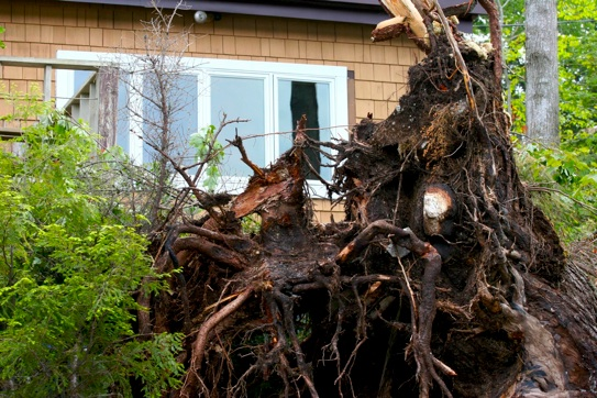 tree roots from Hurricane Irene
