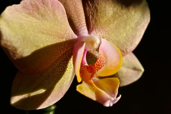 reblooming orchids