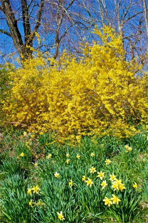 Laurel Ridge Daffodils