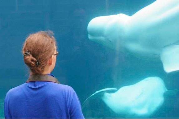 beluga whales mystic aquarium