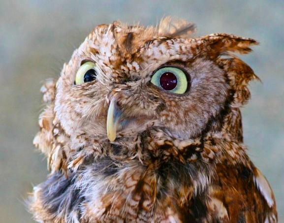 Adirondack Screech Owl, photography by Polly Castor