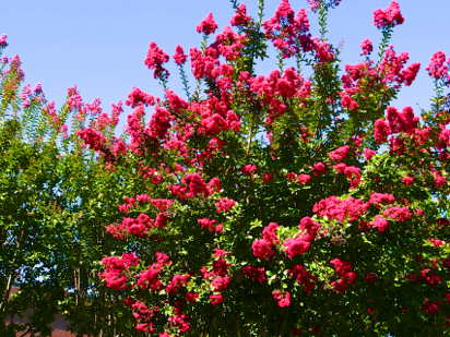 pictures of crepe myrtles