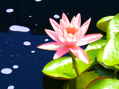 water lily photos
