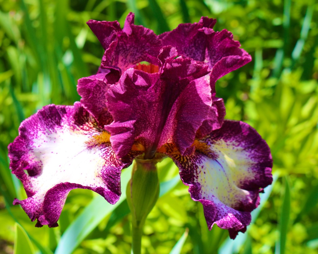 iris picture, iris pictures, iris photo, photos of irises, photo of irises