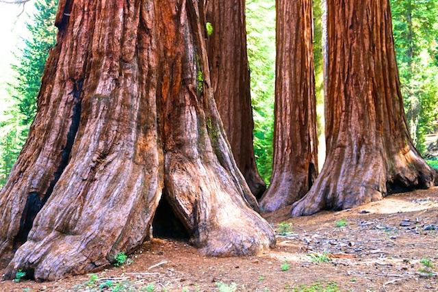 Mariposa Sequoia Grove