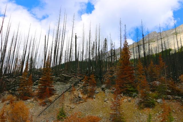Recent burn, Jasper forest fire