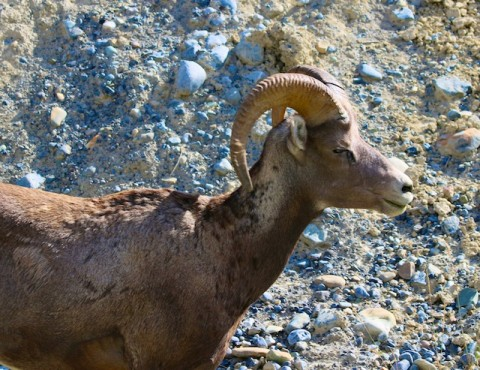 Big Horned Sheep Photos