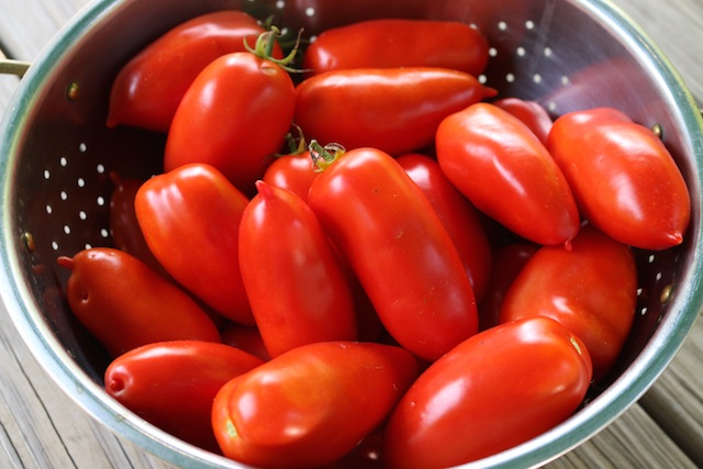 harvesting homegrown tomatoes