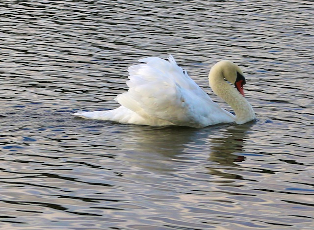 photos of swans