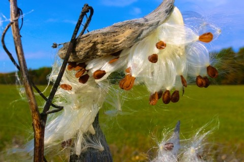 photos of milkweed