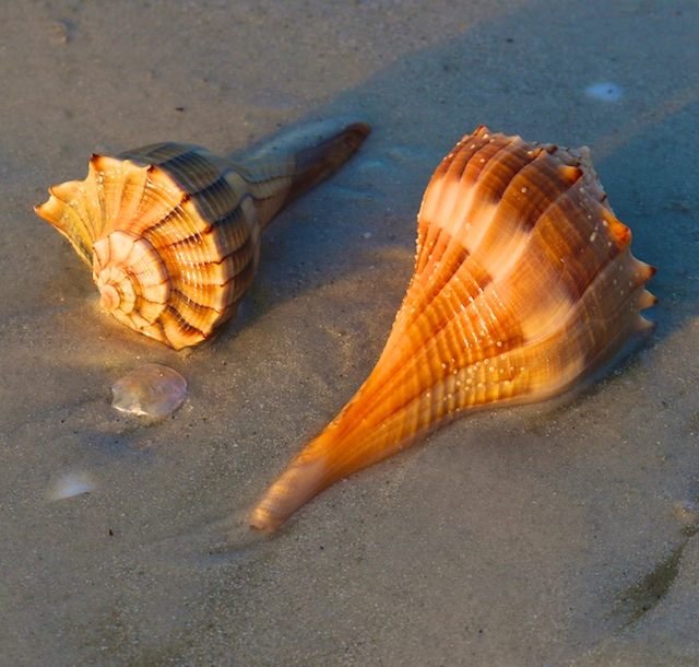 Sanibel Island shell photos