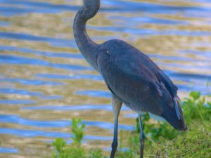 Heron Photos and Poem by Wendell Barry