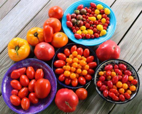 amazing tomato harvest