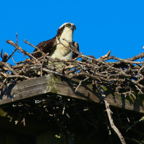 osprey photos