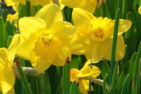 Wordsworth daffodil poem