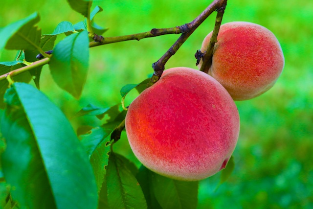 Photos of our Peach Crop