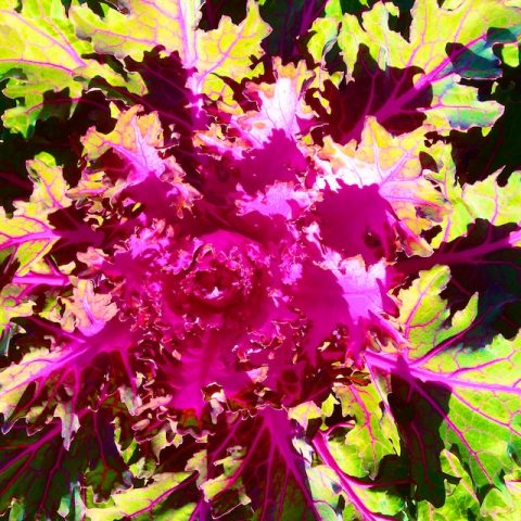 Photos of decorative kale
