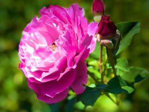 June Roses 2018 (Photos)