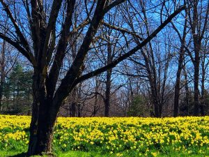 A Field of Daffodils (Photos)