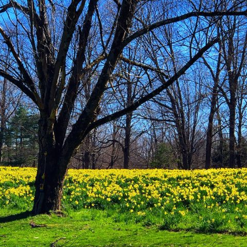 A Field of Daffodils