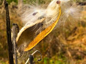 Milkweed Reference Photos