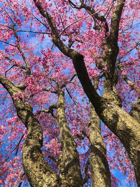 Gregory Boyle quote, Weeping Cherry Tree photos