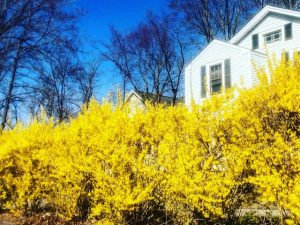 Once the Forsythia (New Poem with Photos)