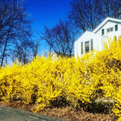 Forsythia Photos 2021