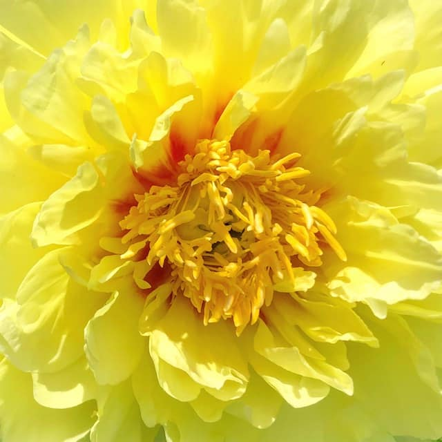 Billy Collins poem Today, peony photos